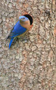 Male Eastern Bluebird Stock Image