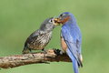 Male eastern bluebird with baby sialia sialis feeding his hungry Stock Photo
