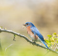 Male eastern bluebird carrying insects to feed his brood Stock Photos