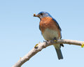 Male eastern bluebird with an insect in his beak for the brood Royalty Free Stock Photo