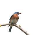 Male eastern bluebird isolated on white with an insect in his beak for the brood Stock Images