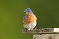 Male Eastern Bluebird on Nestbox Royalty Free Stock Photos