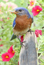 Male eastern bluebird sialia sialis on a fence with flowers Stock Photography