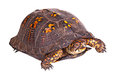 Male eastern box turtle terrapene carolina carolina isolated o red eyed of the against a white background Stock Image