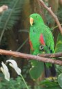 Male Eclectus Parrot (Eclectus roratus) Stock Photo