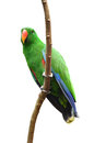 Male eclectus parrot isolated white background Stock Photography