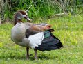 Male Egyptian Goose