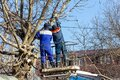 Male electricians cut tree branches eliminating the breakage of the electric grid line. Royalty Free Stock Photo