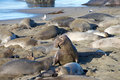 Male elephant seal getting ready to try and mate with a female Royalty Free Stock Photo