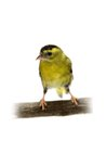 The male of eurasian siskin on white carduelis spinus isolated Stock Images