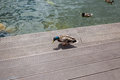 Male mallard duck walking on green grass at sunny day
