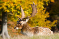 Male fallow deer Stock Photo