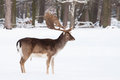 Male fallow deer big pair antlers snowy white meadow winter Royalty Free Stock Photos
