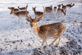 Male fallow deer and group of females in the snow Royalty Free Stock Photo