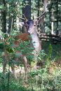 Male fallow deer portrait of a in summer forest Stock Photos