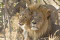 Male and female african lion south africa a panthera leo greet each other Royalty Free Stock Image
