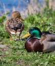 Male and female duck sitting with in the background Stock Photo