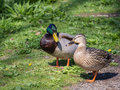 Male and female duck standing slose to each other Stock Images
