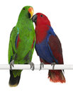 Male and Female Eclectus Parrots Royalty Free Stock Images