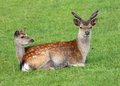 Male and female fallow deer back to back Stock Photography