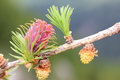 Male and female inflorescence of larch (larix decidua) Royalty Free Stock Photo