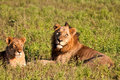 Male and female lion lying in grass Stock Image