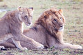 Male and female lion pair on green grass masai mara reserve kenya africa Royalty Free Stock Image