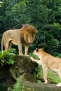 Male and female lions Stock Photos