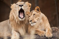 Male and female lions in outdoor park Stock Photo