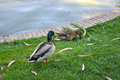 Male and female mallard ducks by a pond Stock Photos