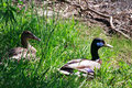 Male and female mallard ducks sitting under a tree near the pond Royalty Free Stock Photo