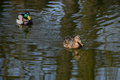 Male and female of mallard ducks swimming on water with reflection Royalty Free Stock Photography