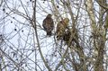 Red-shouldered Hawk pair building nest, Georgia, USA