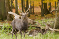 Male and Female red deer Royalty Free Stock Photo