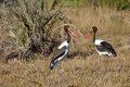 Male and female saddle billed storks a pair of dark iris little yellow wattle bright yellow iris black white purple iridescent Stock Photography