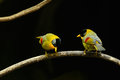 Male and female silver-eared mesia Royalty Free Stock Photo