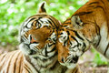 Male And Female Tiger Royalty Free Stock Photo