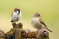 Male and female tree sparrow Stock Images