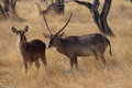 Male and female Waterbuck standing in Namibian veld Royalty Free Stock Photo