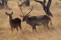 Male and female waterbuck standing in namibian veld kobus ellipsirymnus the Stock Photos