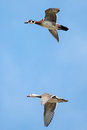 Male and female wood ducks in flight with cloud blue sky background Royalty Free Stock Images