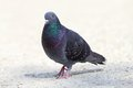 Male Feral Pigeon Walking