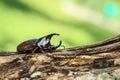 Male fighting beetle rhinoceros beetle on tree close up Stock Photo