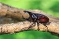Male fighting beetle rhinoceros beetle on tree close up Royalty Free Stock Photo