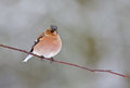 Male finch perched on a twig Royalty Free Stock Images