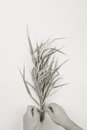 Male florist making bouquet in a striped decorativel grass phalaris, top view on white background Royalty Free Stock Photo