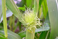 Male flower of corn Royalty Free Stock Photo