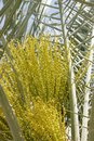 Male flowers in a date palm tiny green and buds coming out bahrain Royalty Free Stock Photo