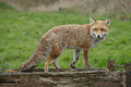 Male fox looking back Royalty Free Stock Photo