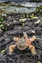 A male of Galapagos Marine Iguana resting on lava rocks Royalty Free Stock Photo